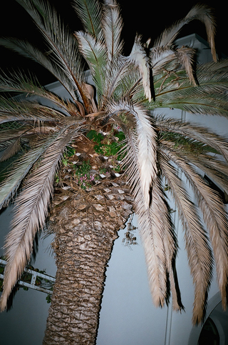 Palm Tree, Croatia